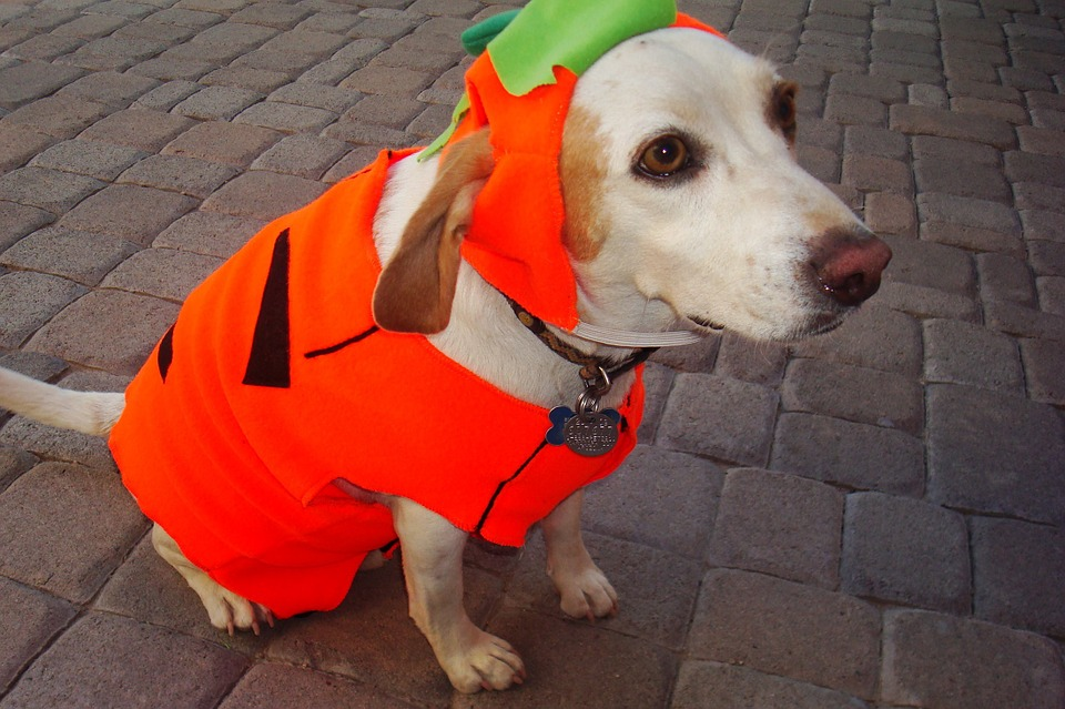 Dog dressed up in a pumpkin costume for Halloween