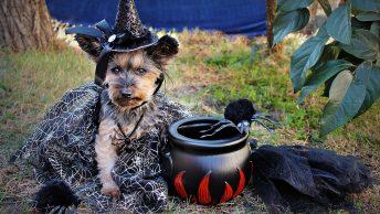 Costume Witch Yorkie Halloween Dog